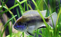 METRICLIMBA LANISTACOLA CICHLID   THIS LAKE MALAWI CICHLID IS A SHELL DWELLER BEAUTIFUL METALLIC BLUE SHADES WITH A CHECKER BOARD PATTERN $8.00 EACHCALL 519 451-4784 PLEASE VIEW OTHER ADS FOR MORE ITEMS