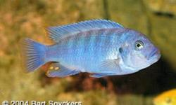 "METRIACLIMA ESTHERAE   Very popular Mbuna from Lake Malawi.M. estherae is a very lively fish with great colors. Males typically are bright powder blue Females a rich orange.   We have a batch of these beautiful fish 2"" They are mild mannered and stay"