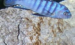 Metriclima zebra elongatus likoma FS Have some breeding pairs and some smaller 2 to 3 inch size $ 6 for adolescent to adult  1 inch to 2 inch fry $3