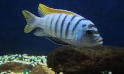"""RED TOP COBALT ZEBRA- MALE 5"""" METRICLIMA PYRSONOTOS THIS BEAUTIFUL COLORED AFRICAN CICHLID FROM NAKANTENGA ISLAND IS A HERBIVORE(VEGETARIAN). THIS FISH NEEDS LOTS OF CAVES AND DOES WELL WITH  LARGER CICHLIDS IN A COMMUNITY TANK  $15.00ONLY ONE LEFTCALL"""