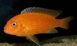 RED ZEBRA CICHLIDMAYLANDIA ESTHERAE  This fish, like most from Lake Malawi, is a mouthbrooder Sought fot their brilliant sometimes fluorescent orange color Makes a great addition of color to your aquarium We are offering adult size red zebras for $10 each