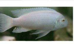 SNOW WHITE SOCOLOFI (ALBINO) CICHLIDPSEUDOTROPHEUS SOCOLOFI  THIS MBUNA FROM LAKE MALAWI IS NOT AGGRESSIVE FOR A CICHLID IT HAS A PURE WHITE BODY WITH A PALE BLUE IRRIDESCENT HUE AND BRIGHT RED EYESTHIS IS AN ADULT FEMALE $20CALL TO VIEW 519 451-4784