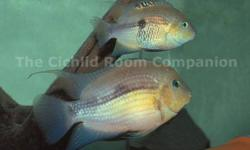 TOPAZ CICHLIDSArchocentrus MyrnaeThis Costa Ricaian cave dweller has many beautiful colors from gold, orange and eventually a gorgeous topaz color They also have very attractive blue eyes  We have a group of 5 juveniles - 1 male and 4 females Selling for