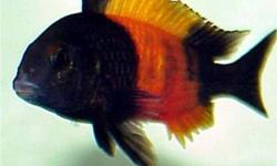tropheus bemba various sizes FS have some Tropheus bemba (orange stripe) for sale some fry, some 2 inch some 3 inch and up and also some adults $8 to $30 depending on size these fish do better in a colony of 14 or 24