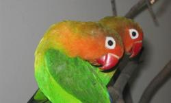 I'm selling a beautiful pair of Green Fisher Lovebird (not tamed) $100/- each.. and cage, stand + wooden nestbox $75/- they are very active, they love to eat fresh fruits and vegitables. If interested please reply or call Akber 647 709 9221