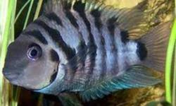 Convicts - Needing New Homes Healthy non agressive Convict Cichlids Males & Females 2 larger breeding convict pairs, $25.00pair obo.   Also young ones, $4.00 each, 3 for $10, or 7 for $20.00 they are about an 2inchs in size   Males and Females available.