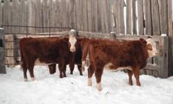 I have five simintal cross, replacment heifers for sale. 1050 each or 1100 choice. please contact for more information. 1-306-697-3162 and ask for Larry Neuls. or my cell at 1-306-697-7056