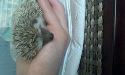 Hey everyone, my hedgie had baby hedgehogs about five weeks ago, and are ready to be sold. There is a boy and girl. (Forest and Jenny) I play with them every night, they are very friendly. they Love to climb around. i can throw in some woodchips with the