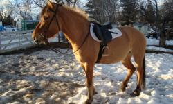 Biscuit is a Fjord Thoroughbred cross mare.   *Her mother (Frieda) is a large Fjord mare with a wonderful disposition, great strong hooves and straight legs.   *Her father (Perfect Score) is a Thoroughbred stallion out of the U.S.A. who has done well on