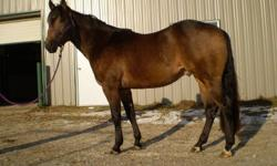 3 year old registered QH buckskin colt, this colt has a solid build and a beautiful color, and is showing a lot of aptitude towards reining, he has a huge desire to stop and turn. In addition to reining, he is a good prospect for team penning, roping or
