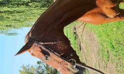 FOR SALE: 6 year old, 15.1hh chestnut quarab type mare. She can walk, trot, canter, and has gorgeous, floaty movement. She is confident over poles and has been started over fences jumping up to 2'9, showing sensibility and scope. She can also do flying
