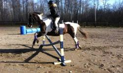Pretty mare in her late teens, approximately 14.2 or 3 hh. Nice little mare enjoys jumping, trail riding. Bathes, clips, ties, trailers, good for vet and farrier. Has been shown, has successfully taken a rider thru OEF rider level 4 testing. Also very
