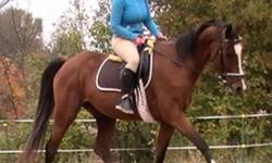 16.3 h Flashy Chromed out bay gelding... 5 years old backed and started! Going walk trot canter in the ring and been down the trail a few times.... Very soft mouth, frames well... Very quick learner.  Has huge extensions at the trot and a simply smooth