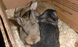 Flemish Giant Bunnies!   Born the night of Sept 17, 2011 Bunnie babies will be ready for their new homes on October30th!!   $30 each   Reserve yours ASAP! They go fast! Only 1 left!   This is a LARGE breed rabbit. These Babies are Purebred.   Flemish