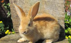 5 left to choose from, ages range from 8 wks to 4 months.  All are purebred flemish giant rabbit.  All are does.  Prices range depending on rabbit .30 t0 60 dallars