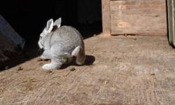 Yonder Homestead is offering some nice Flemish Giant baby rabbits.  They truly are gentle giants!  $40ea or $60 for 2 (of the same gender).  White, orange, grey and sandy colours available.