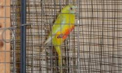 For Sale:  2011 Elegant parakeets and Red Fronted Turquoisine Parakeets.  Males & Females available. $80 each Also proven pair of Elegants $160 located near Mitchell, Ontario email or call 519-348-4391