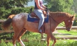 4 y/o 15.2hh ApHCC gelding 1/2 lease, 3 rides per week, price neg. Benson is coming along well in western maneuvers, started well in neck reining, leg yielding, turn on haunches, responds well to leg, seat and voice aids. Has been to his first 2 shows
