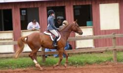 """I am offering my gelding :""""Flash"""" for full or half lease. Flash is what you would call a bomb proof horse. He has lovely flat work, and enjoys jumping. He stands 16'1, and is a Quarter Horse x App. Flash is suitable for a intermediate to advanced rider"""