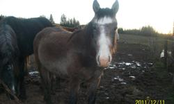 For Sale 16 mo.old gelding colt  leads well and very friendly mother was saddle horse and father was blue roan draff studd only reason for selling we have to many we have 8 horses and he does not get the  atention he needs ..