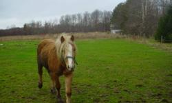 Due to poor health, we are offering for sale a 2 year old Haflinger stud and a 6 month old Haflinger filly.  The parents are both registered, so these can be also. They are both mild mannered and easy to work with.  These two pets will only go to a good