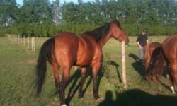 """Looking to Sell or trade one of my AQHA greenbroke barrel/ranch prospects for a 15-16"""" roping saddle. This ad was posted with the Kijiji Classifieds app."""