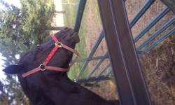 Talico is a velvety black 8 year old  QH mare standing 15.2 hh.  She is suited for western and would make a great project horse.  Must down size herd as daughter heading off to university and we have limited time.  Talico has solid walk and trot and is