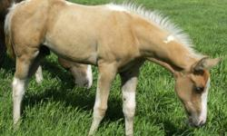 Another FANTASTIC foal crop!! REG.APHA weanling foals will be ready to go soon! Many, many palomino tobianos with great conformation and willing minds, awesome pedigrees and COOL, COOL colours! Sire is LENAS PEYOTE EXPRESS!! World champion bloodlines top