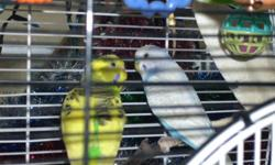 For Sale two Budgies A perfect gift for the family. One Male (Blue) one Female (yellow) it comes with two cages and lots of toys and food for them asking $65.00 for all. Must go to a good caring home!! Please e-mail me