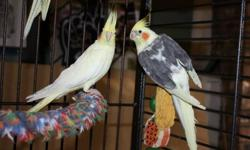 I have four cockatiels for sale, they are about two years old, paid over 1100 for the cage and birds, would be willing to sell birds individually for 75.