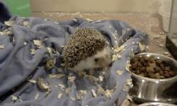 I am selling my hedgehog Spank because I am a college student, and don't provide her with a proper home.She is litter trained and comes with two food dishes, a water bottle, an igloo, a wheel, a ball, a treat ball, half a bag of food, an almost full