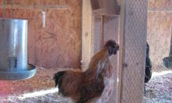 I have 2 seven month old Silkie rooster but only need one - free to good home. Very pretty and gentel.