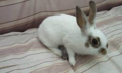 1 have 4 netherland dwarf bunnies who are looking for a loving home. They are about 3 months old which is why they are now free. They are getting older and i want homes for them asap! Friendly and playful. Loves to be out of cages and explore. I have two