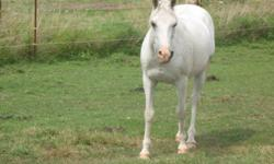Eddie is a Retired grey 14hh gelding Reg Arabian. Sweet temperament is like a big teddy bear. 20 years old doesn't look it or act it at all. Easy keeper good strong hooves is barefoot. Doesn't require any special medical attention. Up to date on worming,