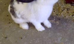 I AM LOOKING TO REHOME MY TRAINED FLOPPY EAR FEMALE RABBIT. IDEAL INDOOR PET IN WINTER FOR KIDS & ADULTS SHE IS FRIENDLY WITH KIDS AND DO NOT BITE. LOVE TO BE SCRATCHED AND CUDDLE WITH YOU. SHE IS TRAINED TO DO HIS BUSINESS IN HER CAGE. CONTACT ME IF YOU
