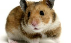 With the purchase of any small animal starter kit from Jungle Pets Store you will recieve a free pet Hamster or Rat. Buy any Cage with any bag of small animal food and Shavings and get the perfect Pet Hamster or Rat for your little one this Christmas for