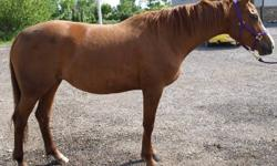 A quality young Portland L mare with excellent conformation,who could go in several directions.Sane and sound, learns quickly,