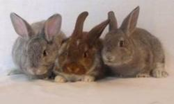 IDEAL CHRISTMAS PRESENT FOR CHILDREN - BEAUTIFUL FRENCH X RABBITS FOR SALE, EXCELLENT CHILDRENS PETS, WELL HANDLED BY YOUNG CHILDREN, SUPER TAME AND VERY FRIENDLY.   $25.00 EACH OR THE TRIO FOR $60.00 - SERIOUS ENQUIRIES ONLY