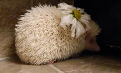 I have a female albino hedgehog that needs to find a new home. I have to give her away because my work hours have increased, and I simply do not have the time to give her the care I thought I'd be able to provide. Polly is 1 year old (as of October 19th)