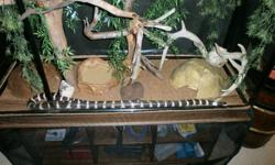 I have a California King Snake that is three years old very friendly just under six feet long with dark brown and white bands. He has been dead feed all his life, this and the bread of snake has what helps towards his easy going calm demeanour.  He comes