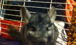 I am selling my one year old chinchilla because we are moving into a new place and are not aloud even caged animals. He is very friendly, loves to run around, very lively, and loves to cuddle your hands! This chinchilla comes with a three story cage,