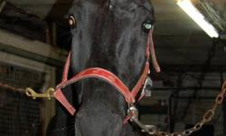 Kind 10 year old gelding available to a very special home. Rollie is now being retired from racing, and is looking for a new forever home! He comes from a loving family in harness racing, and they wish only the best for him. Rollie loves children and is