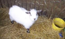 Friendly Pygmy Male Billy Goat For Sale. Born  Monday August 29th, 2011. Has been handled by children. Asking $100.  (Near Moorefield)