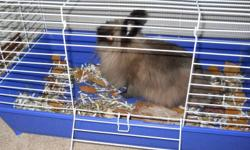 Friendly Siamese Sable Lionhead Doe Rabbit with birth certificate looking for new home. We can't keep her in our home anymore, because everybody is working and she loves to be in a company and we don't have time to care for her. We asking her for $80. If