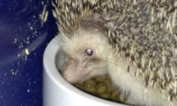 I have a wonderful hedgehog that I have boughten from Breys only a week ago. He is a adorable pet, but is just to much work for my son. He had been wanting one for ages and I got him one and now his work wants him most of the time and he just wont get the
