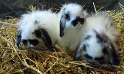 WE HAVE OVER 300 BUNNIES COMING UP FOR CHRISTMAS AND WE CAN HOUSE TRAIN THEM FOR YOU!! WE HAVE HOLLAND LOPS, LION HEADS, MINI REX, NETHERLAND DWARFS, FUZZY LOPS, REX, WHITE NEW ZEALANDS > THE LAST BATCH WENT SOOO FAST THEY COME WITH VET CERT. COME SEE OUR