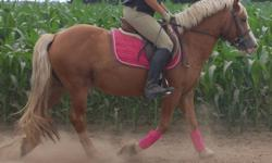 Ned is a stocky haflinger gelding, he is broke walk, trot canter and goes over jumps. He can be a bit pushy on the ground, so needs someone who won't let him get away with it. If he knows you wont let him get away with it, he's a complete sweet heart to