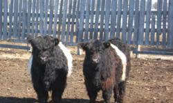 For sale black galloway herd sire 4 years old and one of his belted 2 year old off spring. All are purebred without papers. Galloway advantagers:low birth weights less than 80 lbs., Olds college beef production study results # 1 for lowest feed cost per