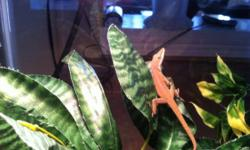 I have two anoles. Very similar to a gecko.. Complete setup. Aquarium, Heat light/UV, Plants fake and rocks This ad was posted with the Kijiji Classifieds app.