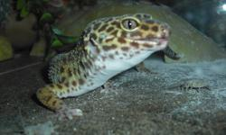 Hi, I have two healthy, happy Gecko's for sale, one female and one male. They have been together since the Female was born. The female is just over two years old and the Male is 5. If taken care of and loved, they can live 20 years or more. You can even
